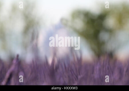 An abstract background of lavender flowers and trees on a summer day. - Stock Photo