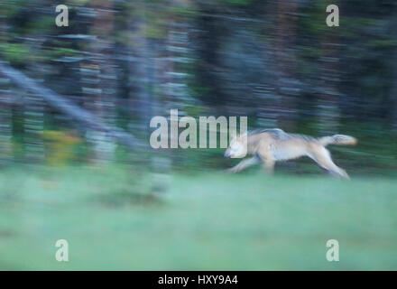 Wild European Grey wolf (Canis lupus) running at night, Kuhmo, Finland. July. - Stock Photo