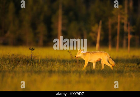 European grey wolf (Canis lupus) Kuhmo, Finland. July. - Stock Photo