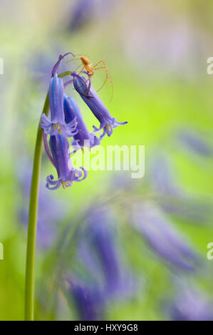 Spider on Bluebell (Hyacinthoides non-scripta / Endymion scriptum) flowers in Beech wood, Hallerbos, Belgium, April. - Stock Photo