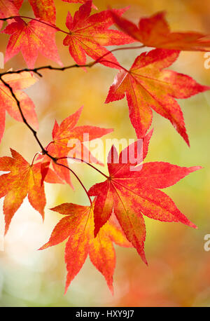 Maple (Acer sp.) leaves showing red and gold autumn colours. Westonbirt Arboretum, Gloucestershire, UK. October. - Stock Photo