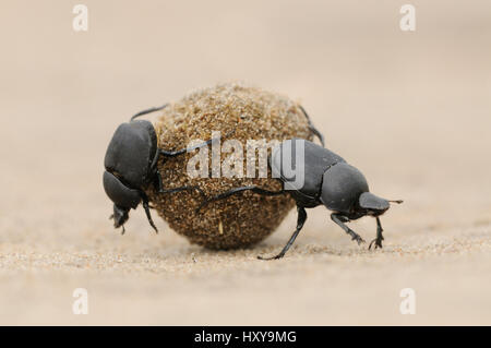 Dung Beetle (Scarabaeinae) adults rolling dung ball. Laredo, Webb County, South Texas, USA. April. - Stock Photo