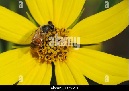 Honey Bee (Apis mellifera), adult on Maximilians Sunflower (Helianthus maximilianii). Comal County, Hill Country, - Stock Photo