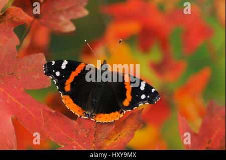 Red Admiral butterfly (Vanessa atalanta) perched on Bigtooth Maple (Acer grandidentatum). Lost Maples State Park, - Stock Photo
