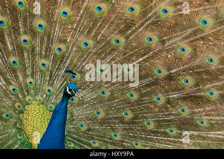 Male Indian peafowl (Pavo cristatus) displaying, captive. - Stock Photo