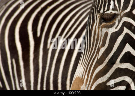 Grevy's zebra (Equus grevyi) close up of head and stripes, captive. - Stock Photo