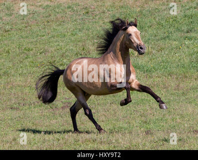 Buckskin Andalusian stallion running, Ojai, California, USA - Stock Photo