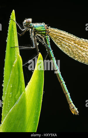 Banded demoiselle {Calopteryx splendens}, resting on reed covered in dew, Lower Tamar Lakes, Cornwall/Devon border, - Stock Photo