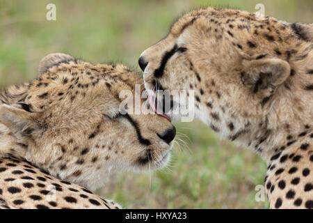 Cheetah (Acinonyx jubatus) two brothers cleaning each other, Masai-Mara Game Reserve, Kenya. Vulnerable species. - Stock Photo