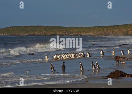 Large group of Gentoo Penguins (Pygoscelis papua) returning to land after a short early morning swim in the sea - Stock Photo