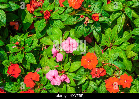 Closeup to Busy Lizzie/ Patience Plant/ Sultana/ Impatiens Walleriana Hook.f./ Balsaminaceae - Stock Photo