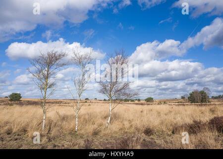 Birch trees on the heath in Elspeet Netherlands. - Stock Photo