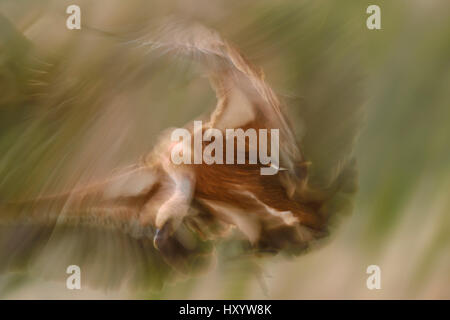 Eurasian Griffon vulture (Gyps fulvus) at wildlife watching and vulture feeding site, Pre-Pyrenees, Catalonia, Spain. - Stock Photo
