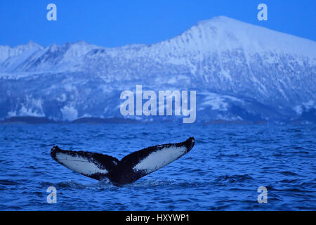 Humpback whale (Megaptera novaeangliae) tail fluke above water before diving, Senja, Troms County, Norway, Scandinavia, - Stock Photo