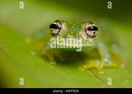 Yellow-flecked Glassfrog (Sachatamia albomaculata). Osa Peninsula, Costa Rica. - Stock Photo