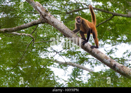 Black-handed spider Monkey (Ateles geoffroyi). Osa Peninsula, Costa Rica. May.. Endangered species. - Stock Photo