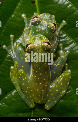 Yellow-flecked Glassfrogs (Sachatamia albomaculata) pair in amplexus. Osa Peninsula, Costa Rica. - Stock Photo