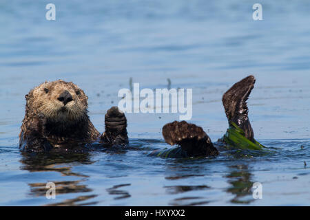 Southern sea otter (Enhydra lutris nereis), partially wrapped in eel grass, grooming near Monterey, California, - Stock Photo