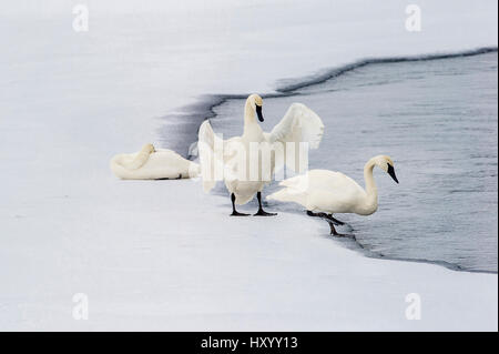 Trumpeter Swans (Cygnus buccinator) on edge of Upper Yellowstone River. Hayden Valley, Yellowstone National Park, Wyoming, USA. January.