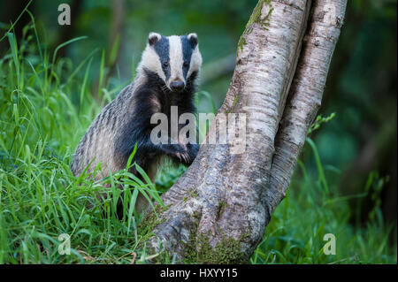 European Badger (Meles meles) foraging at tree trunk in deciduous woodland.  Mid Devon, UK. June. - Stock Photo