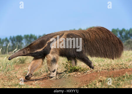 Adult Giant Anteater (Myrmecophaga tridactyla)  foraging. Southern Pantanal, Moto Grosso do Sul State, Brazil. September. - Stock Photo