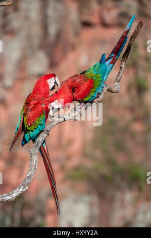 Pair of Red-and-green macaws  (Ara chloropterus) preening. Buraco das Araras (Sinkhole of the Macaws), Jardim, Mato - Stock Photo