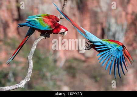 Red-and-green macaws  (Ara chloropterus) two with one taking off, Buraco das Araras (Sinkhole of the Macaws), Jardim, - Stock Photo