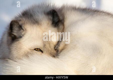 Arctic fox vixen (Vulpes lagopus), captive, Highland Wildlife Park, Kingussie, Scottish Highlands, UK, December. - Stock Photo
