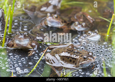 Common frogs (Rana temporaria) in spawning pond, Northumberland, UK, March. - Stock Photo
