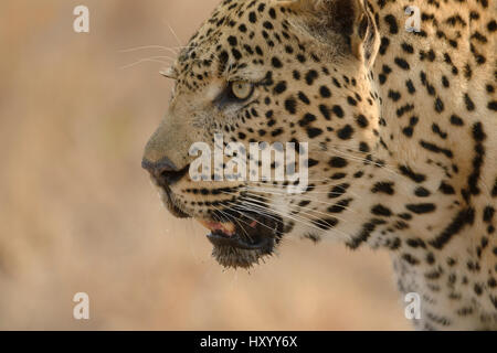Leopard (Panthera pardus) close up,  Londolozi Private Game Reserve, Sabi Sands Game Reserve, South Africa. - Stock Photo