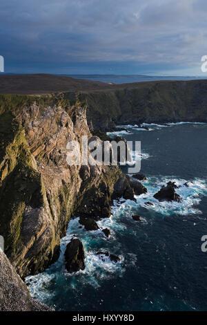Northern gannet (Sula bassana) colony on cliffs at Hermaness National Nature Reserve. Unst, Shetland, Scotland. - Stock Photo
