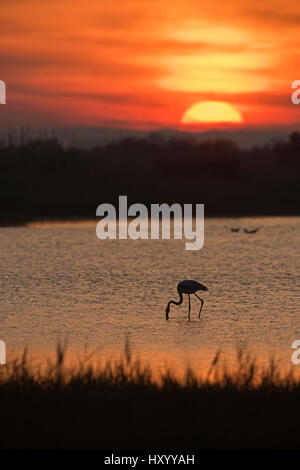 Greater flamingo (Phoenicopterus roseus) feeding in pool at dusk. Camargue, Provence, France. May 2015. - Stock Photo
