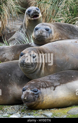Southern elephant seals (Mirounga leonina) together at Gravat Point, South Georgia. January. - Stock Photo