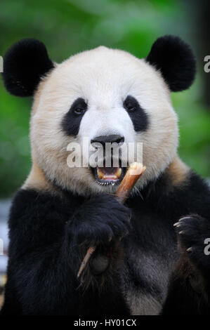 Head portrait of Giant panda (Ailuropoda Melanoleuca) feeding on bamboo. Bifengxia Giant Panda Breeding and Conservation - Stock Photo