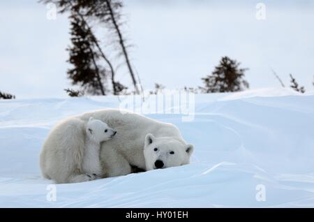 Polar bear (Ursus maritimus) mother with cubs aged 3 months, at den. Wapusk National Park, Manitoba, Canada. - Stock Photo