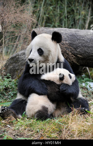 Giant panda (Ailuropoda melanoleuca) mother and cub. Wolong Nature Reserve, Wenchuan, Sichuan Province, China. Captive. - Stock Photo