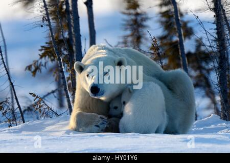 Polar bear mother (Ursus maritimus) with two 3 month  cubs, coming out of den. Wapusk National Park, Churchill, - Stock Photo
