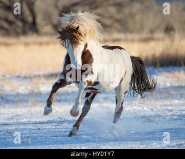 Wild pinto Mustang stallion running in snow, Black Hills Wild Horse Sanctuary, South Dakota, USA. January. - Stock Photo