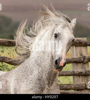 Head portrait of grey Andalusian stallion running in pasture with windswept mane, Southern Spain. April. - Stock Photo
