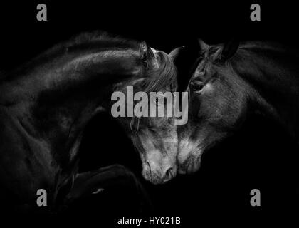 Head portrait of black Andalusian mare and stallion  meeting for the first time in Spain, Europe. - Stock Photo