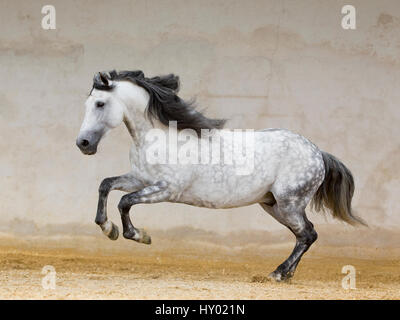 Dapple grey Andalusian stallion running in arena, Northern France, Europe. - Stock Photo