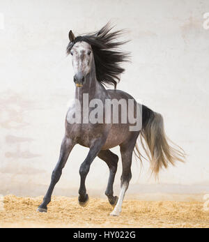 Dapple grey Andalusian stallion running in arena, Northern France, Europe. March. - Stock Photo