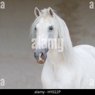 Head portrait of grey Andalusian stallion standing quietly in arena, Northern France, Europe. - Stock Photo
