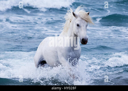 White Camargue stallion coming in from the sea, Camargue, France, Europe. May. - Stock Photo