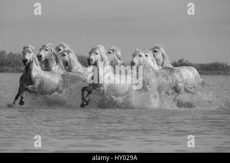Nine white Camargue horses running through water, Camargue, France, Europe. May. - Stock Photo