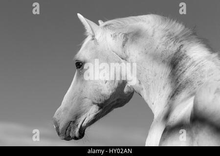 Head portrait of wild Mustang stallion in profile, Pryor Mountains, Montana, USA. - Stock Photo