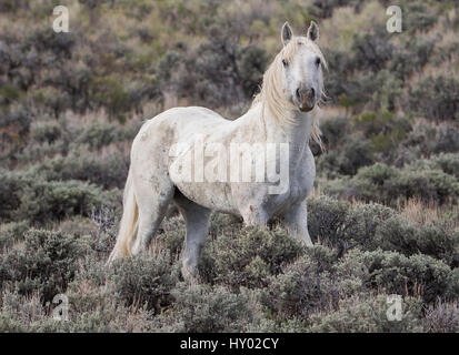 Old grey stallion standing alone in Adobe Town, Wyoming, USA. May. - Stock Photo