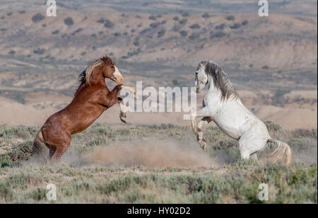 Two wild Mustang stallions, a sorrela and grey, fighting in Adobe Town, Wyoming, USA. June 2013. - Stock Photo