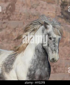 Head portrait of wild Mustang stallion tossing his mane while running, Black Hills Wild Horse Sanctuary, South Dakota, - Stock Photo