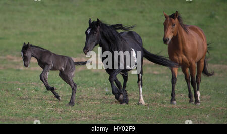 Wild  black Mustang filly leaping as pinto Mustang mother and friend follow, Black Hills Wild Horse Sanctuary, South - Stock Photo